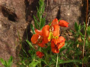 Kalkoentjie (Gladiolus alatus)