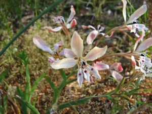 Close-up of pale pink flowers