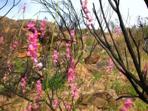 Pink flowers amidst burnt shrubs
