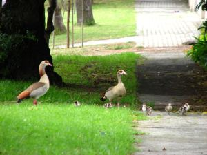 Geese-and-goslings1