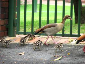 Geese-and-goslings3