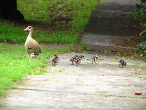 Geese-and-goslings4