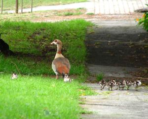 Geese-and-goslings5