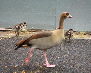 Geese-and-goslings6