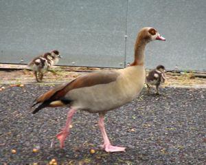 Geese-and-goslings6