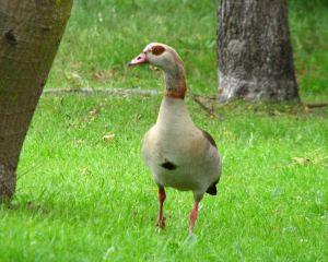 Geese-and-goslings7