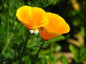Golden-flower1