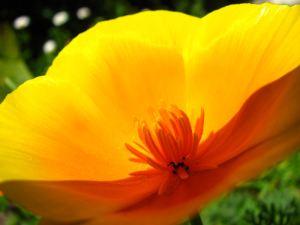 Golden-flower2