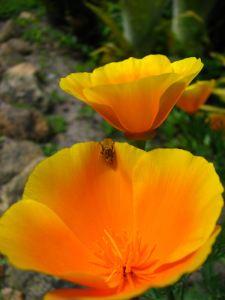 Golden-flower3