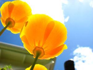 Golden-flower4