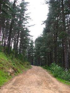 07-Pine-trees