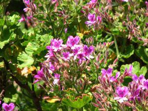09-Purple-geraniums
