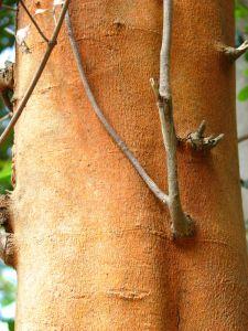 12-Cinnamon-bark