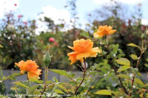 Fragrant roses at the Chart Farm in Wynberg
