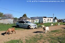 Meanwhile, a herd of goats wanders past the police vehicles - an incongruous sight, but quite common in a township