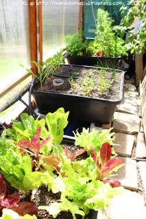 Using aquaponics to breed fish and grow vegetables