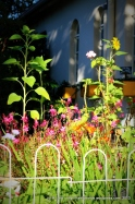 Crocosma in the front, pink Gaura and Geraniums behind, and three sunflowers basking in the early morning sunlight