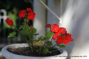 Velvet red Geraniums