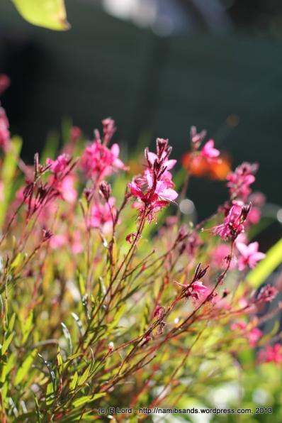 Dark pink Gaura