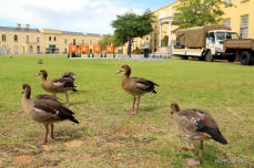 In the midst of all the activity, the Egyptian geese are unfazed