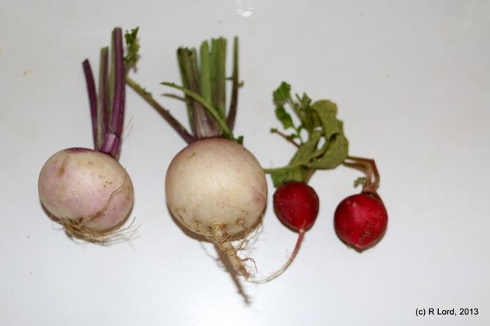 Those must be turnips - not giant radishes