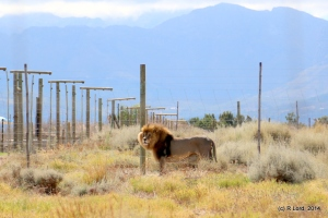 The King of the Beasts should not be in captivity