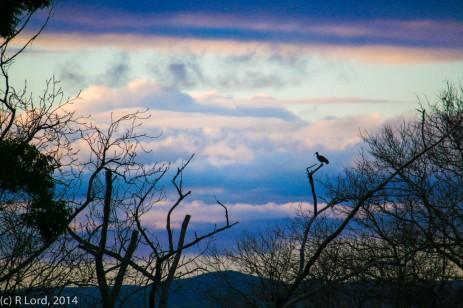 Hadeda at dawn