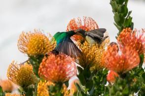 Papa malachite sunbird feeding the littl'un