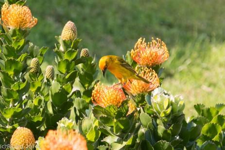 Cape weaverbird