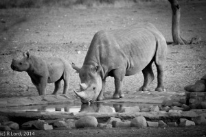 Rhino mom and little one having a drink at a waterhole