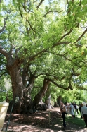 The huge old camphor trees