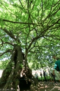 The oldest oak tree in South Africa, planted around 1700!