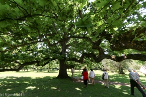 In the shade of the beautiful Royal Oak tree