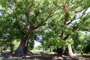 The ancient camphor trees in front of the Homestead, with the slave bell just visible behind them